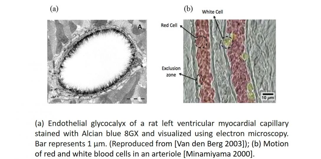 Endothelial glycocalyx of a rat left ventricular myocardial capillary stained with Alcian blue 8GX and visualized using electron microscopy.